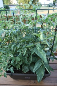 The Heirlooms are thriving in the Tomato Success Kit