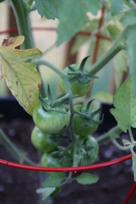 Can't wait for these to ripen
