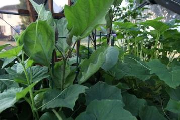 Eggplants and Cucumbers