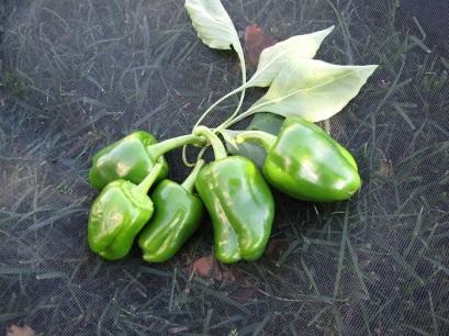 Today's bell pepper harvest