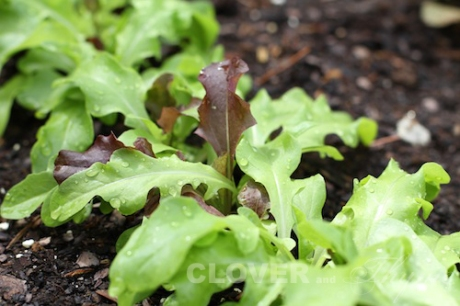 The lettuce blend is coming up nicely
