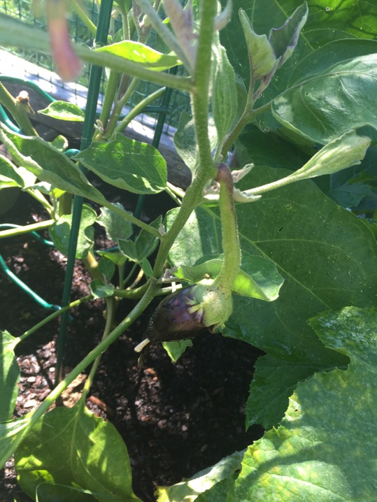 Still some eggplants growing