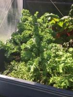 Tender kale in back, oregano up front