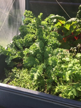 Tender kale in back, oregano up front