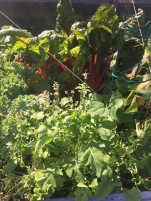 Swiss Chard and very mature arugula in front